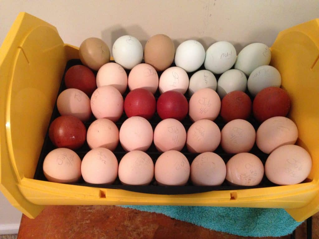 incubator full of different colored chicken eggs