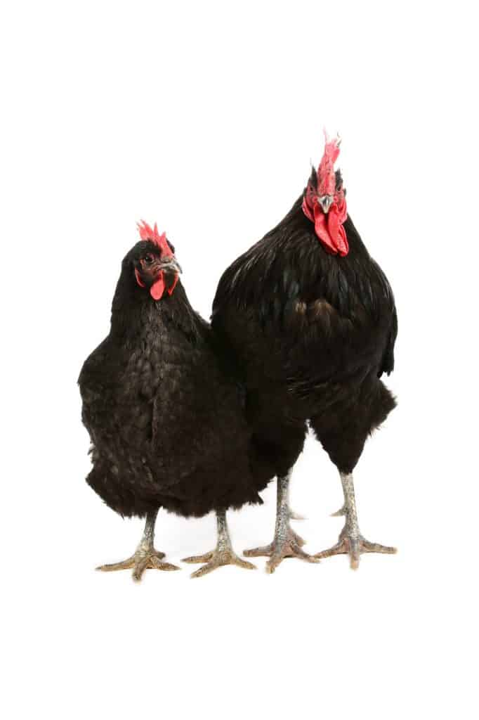 jersey giant hen and rooster